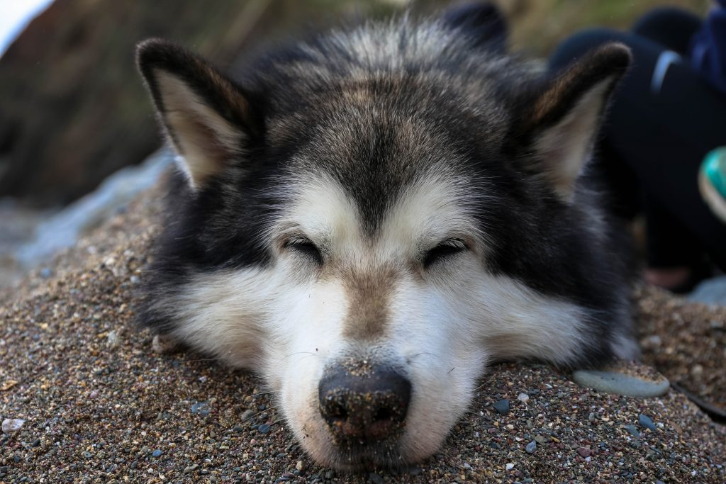 Max, Alaskan Malamute buried in sand to keep cool